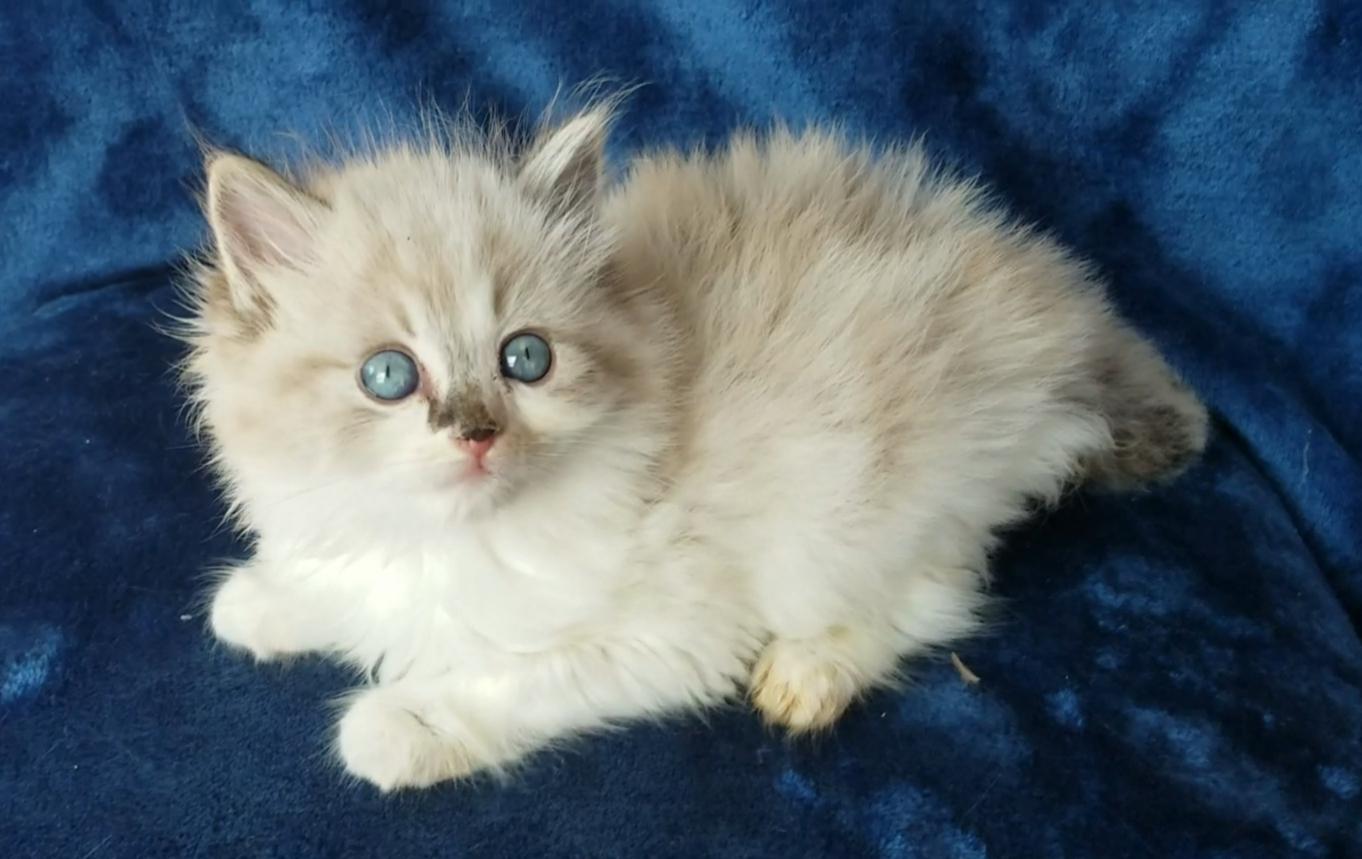 ragdoll kitten Lana
