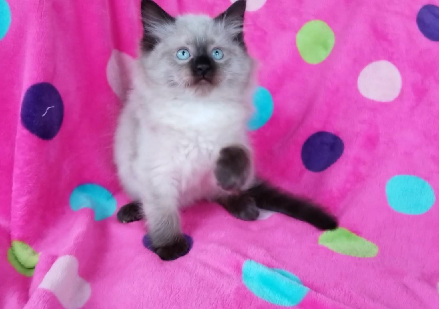 ragdoll kitten Max