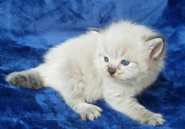 ragdoll kitten Sidney