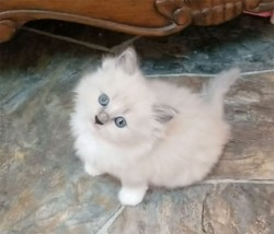 ragdoll kitten Milly