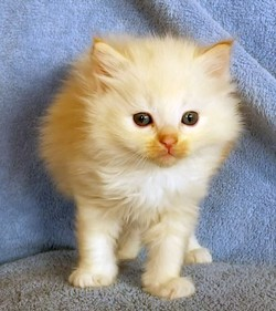 ragdoll kitten Franklin