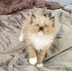 ragdoll kitten Barney