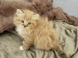 ragdoll kitten Herman
