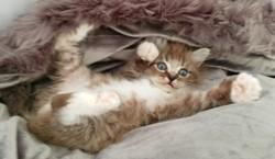 ragdoll kitten Hugo