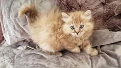 ragdoll kitten Darla