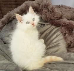 ragdoll kitten Romeo