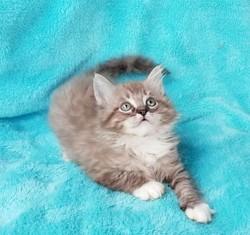 ragdoll kitten Oscar
