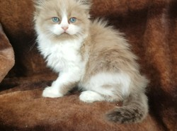 ragdoll kitten Willow