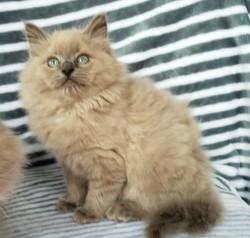 ragdoll kitten Fozzy