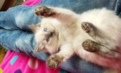 ragdoll kitten Butler