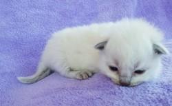 ragdoll kitten Blue Bonnet