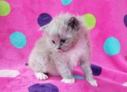 ragdoll kitten Fiona