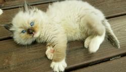 ragdoll kitten Tucker