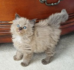 ragdoll kitten CoCo