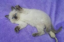 ragdoll kitten Reeses