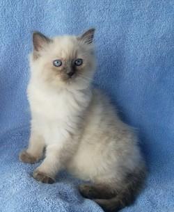 ragdoll kitten Cadbury
