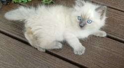 ragdoll kitten Wonka