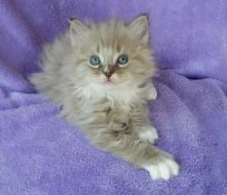 ragdoll kitten Piper