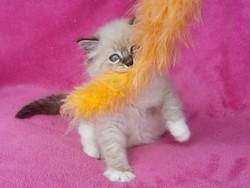ragdoll kitten Abigail