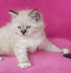 ragdoll kitten Willow