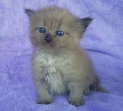 ragdoll kitten Katy