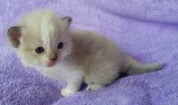ragdoll kitten Penelope