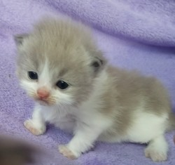ragdoll kitten Charlie