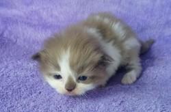 ragdoll kitten Coliopi