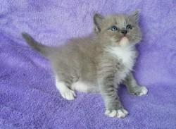 ragdoll kitten Cody