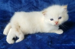 ragdoll kitten Dusty