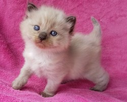 ragdoll kitten Misty