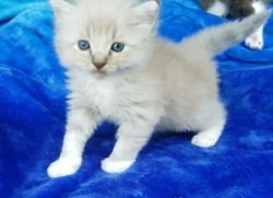 ragdoll kitten Gus