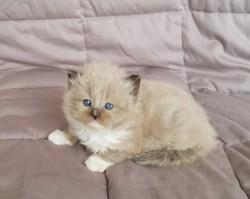 ragdoll kitten Mocha