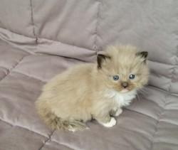 ragdoll kitten Latte