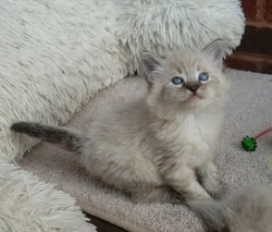 ragdoll kitten Dalton