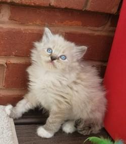 ragdoll kitten Izzy