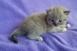 ragdoll kitten Felix