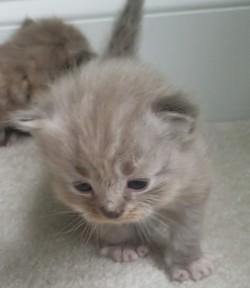 ragdoll kitten Buster