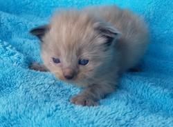 ragdoll kitten Chocolate Chip