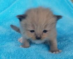 ragdoll kitten Oreo
