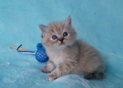 ragdoll kitten Bonnie