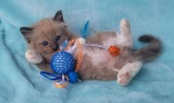 ragdoll kitten Chunky Monkey