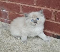 ragdoll kitten Kiki