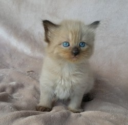 ragdoll kitten Molly
