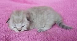 ragdoll kitten Ivy