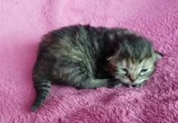 ragdoll kitten Penny