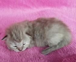 ragdoll kitten Mimi