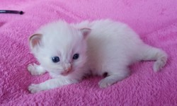 ragdoll kitten Rocky