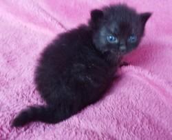 ragdoll kitten Lark