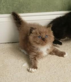 ragdoll kitten Dolly